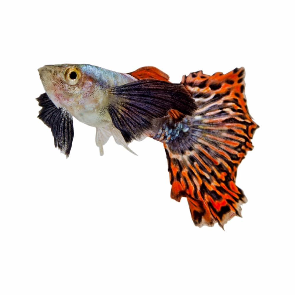 guppy is easiest fish to breed