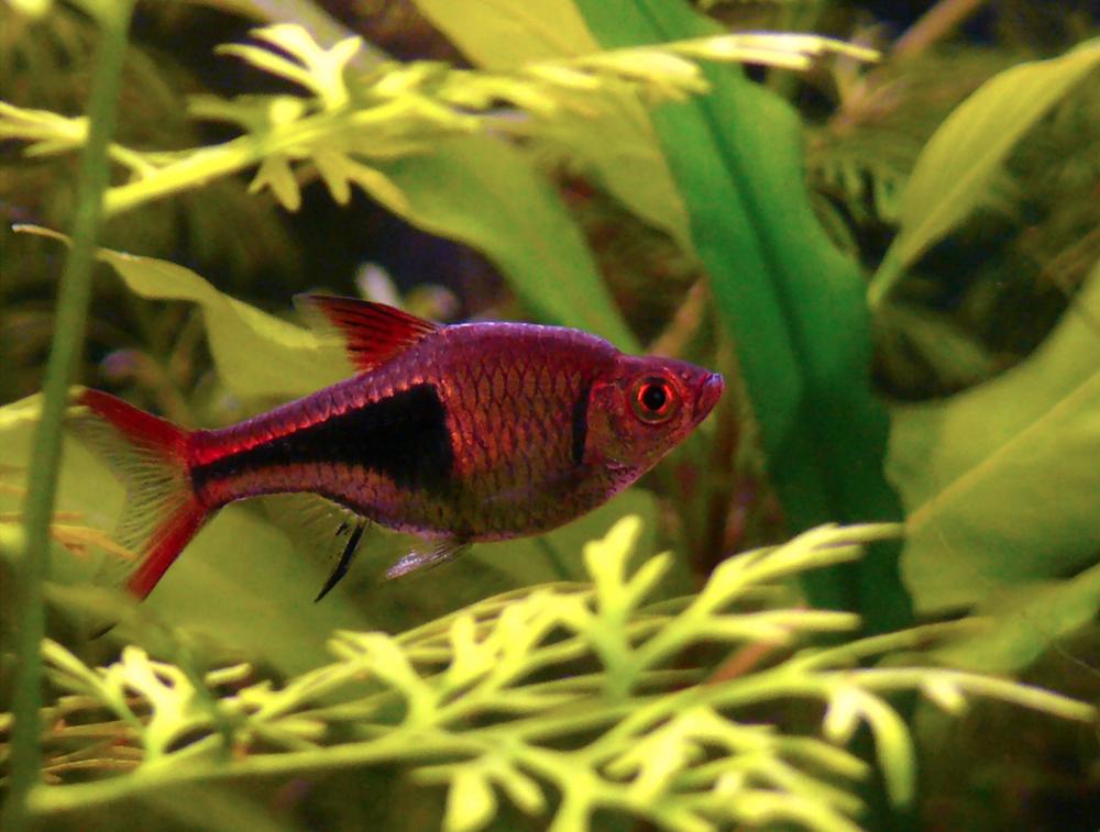 harlequin-rasbora-best-for-freshwater-aquarium-fish-combination