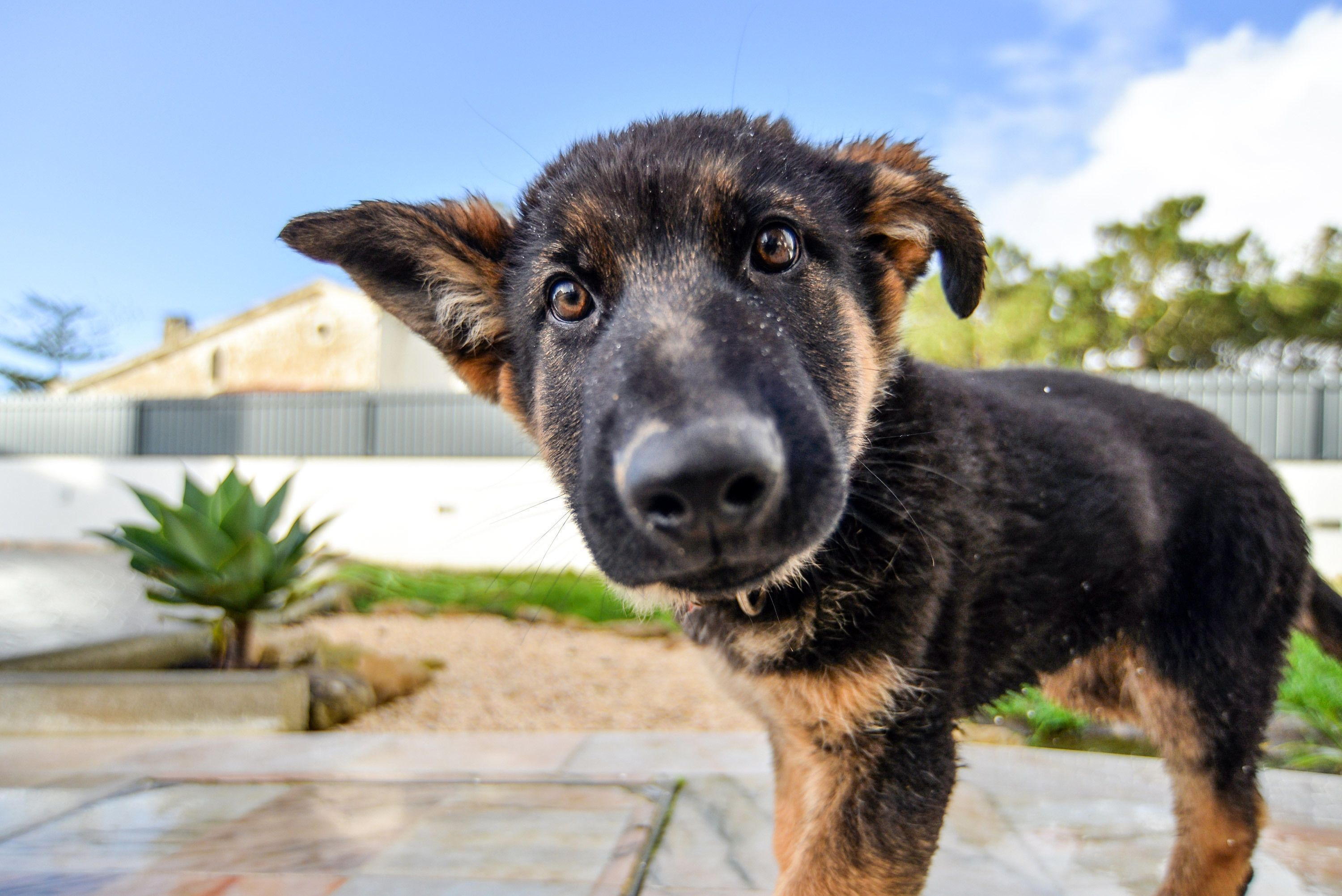 how can you tell if your dog has ear mites