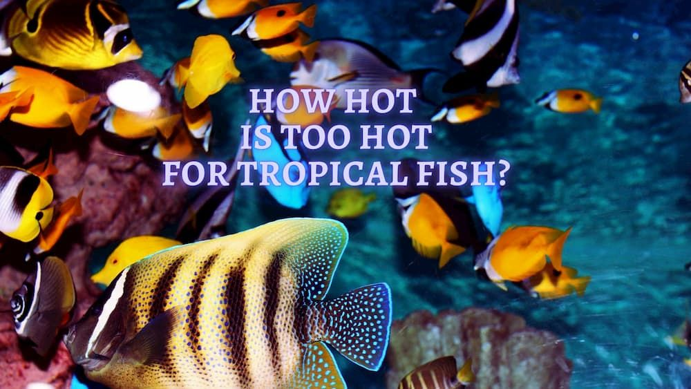how hot is too hot for a tropical fish