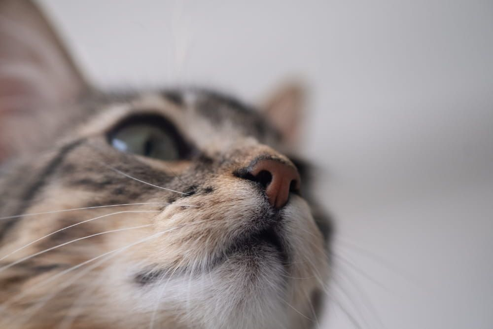 how long can a cat survive without drinking water