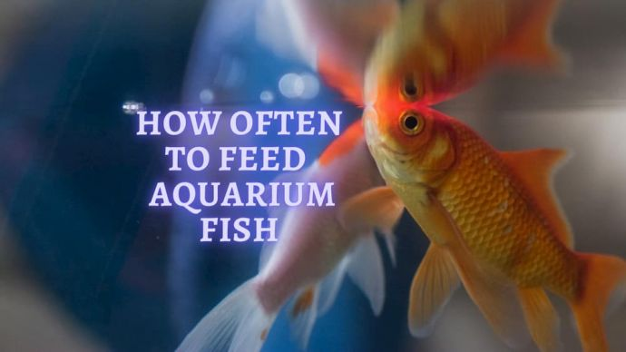 How Often to Feed Fish?