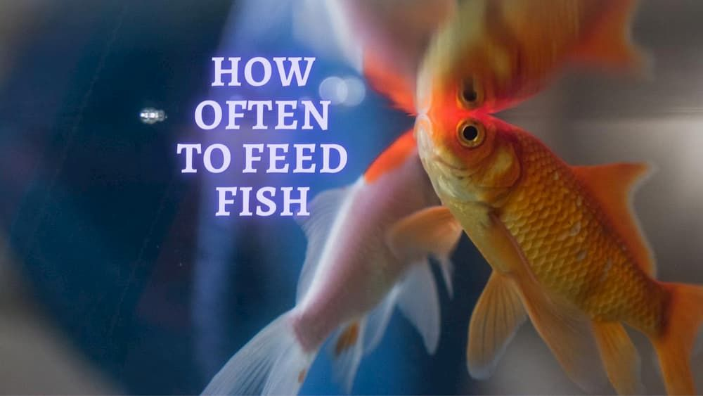how often to feed a fish