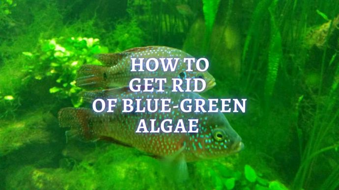 how to get rid of blue green algae in freshwater aquarium