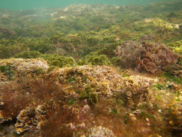 how to get rid of brown algae in my salwater tank