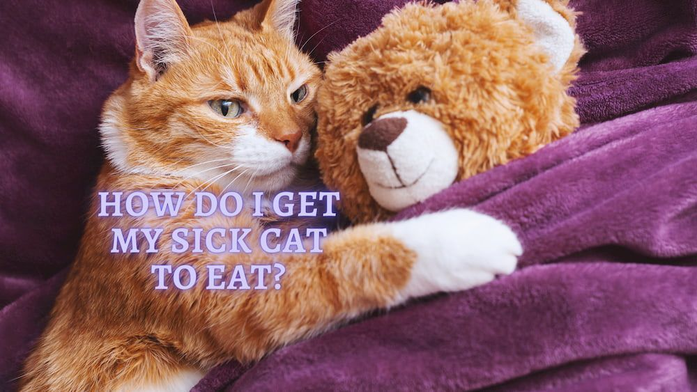 how to get sick cat to eat
