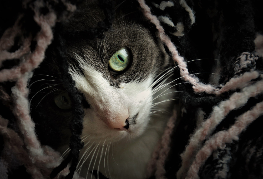 how to know if your cat has toxoplasmosis