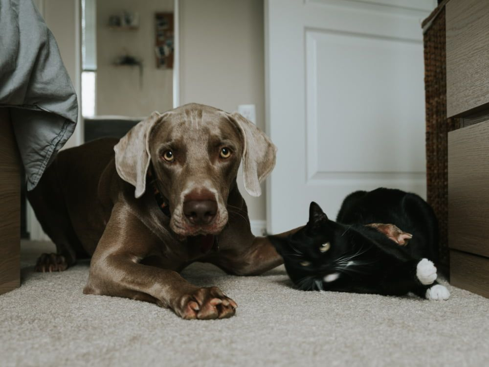 how to stop dog aggression towards cats after it starts