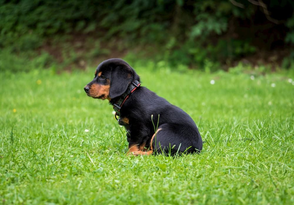 how to train dog to use artificial grass