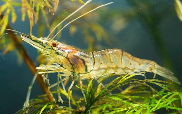 indian whisker shrimp
