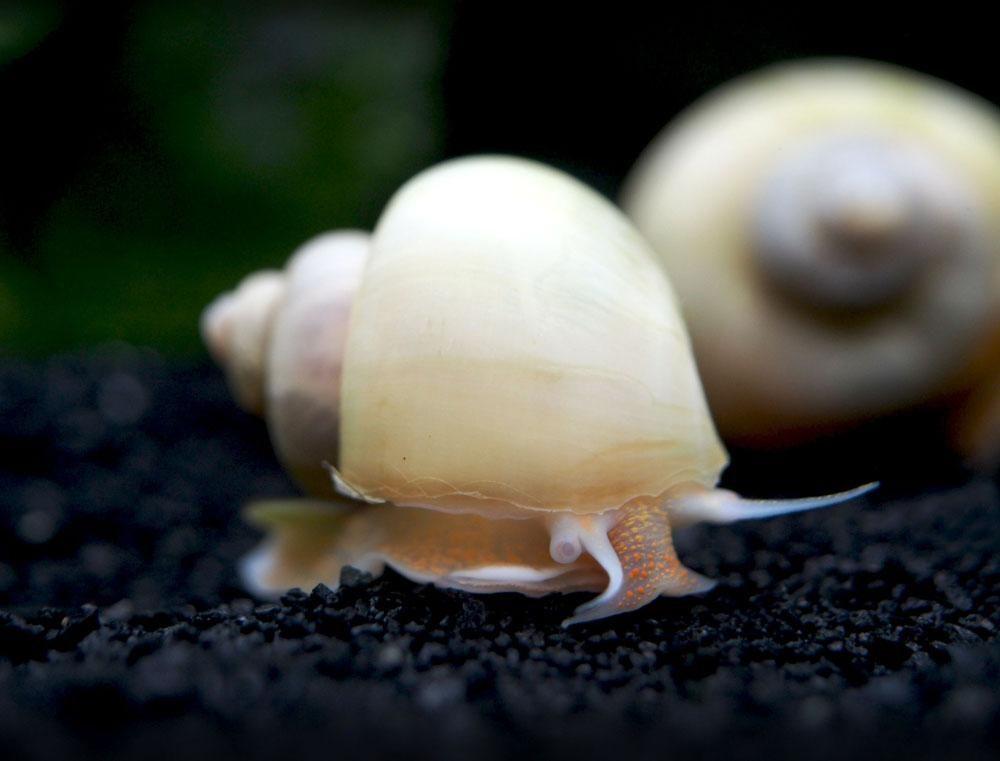 ivory white mystery snail