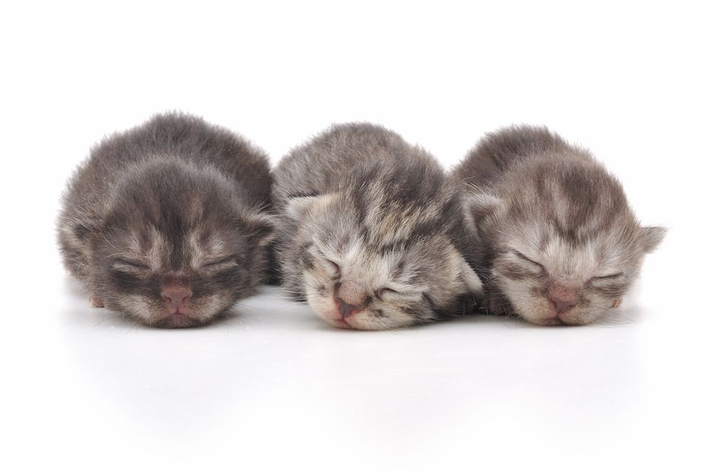 kitten development stages