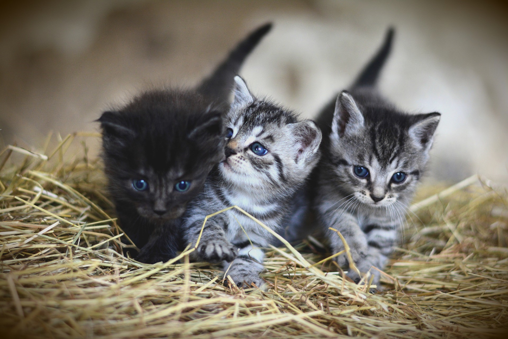 kittens constipation symptoms
