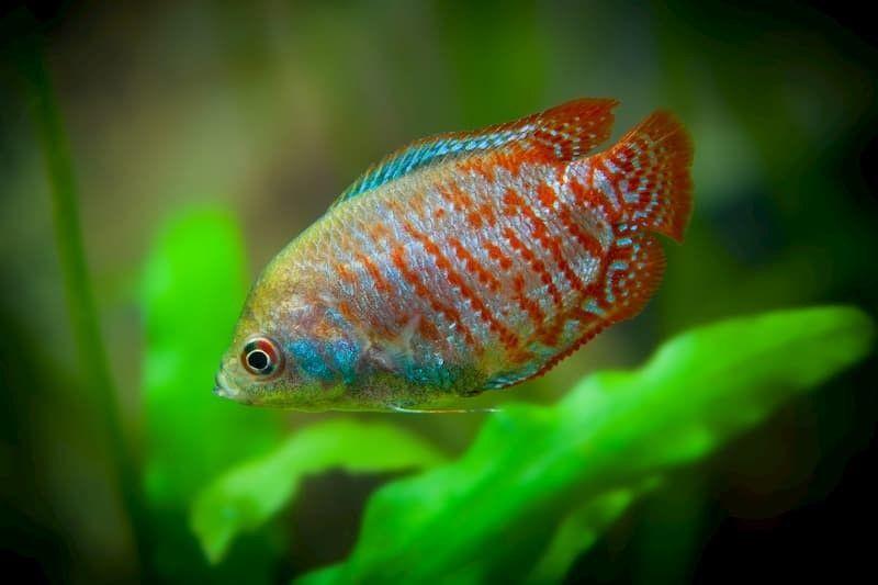 lalia fish