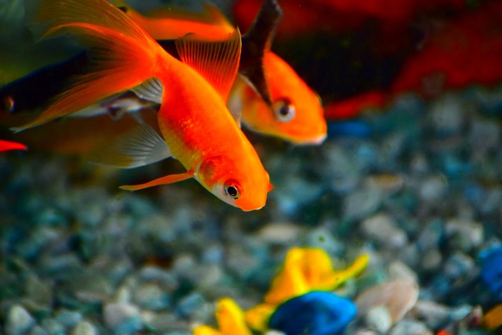 live plants for goldfish