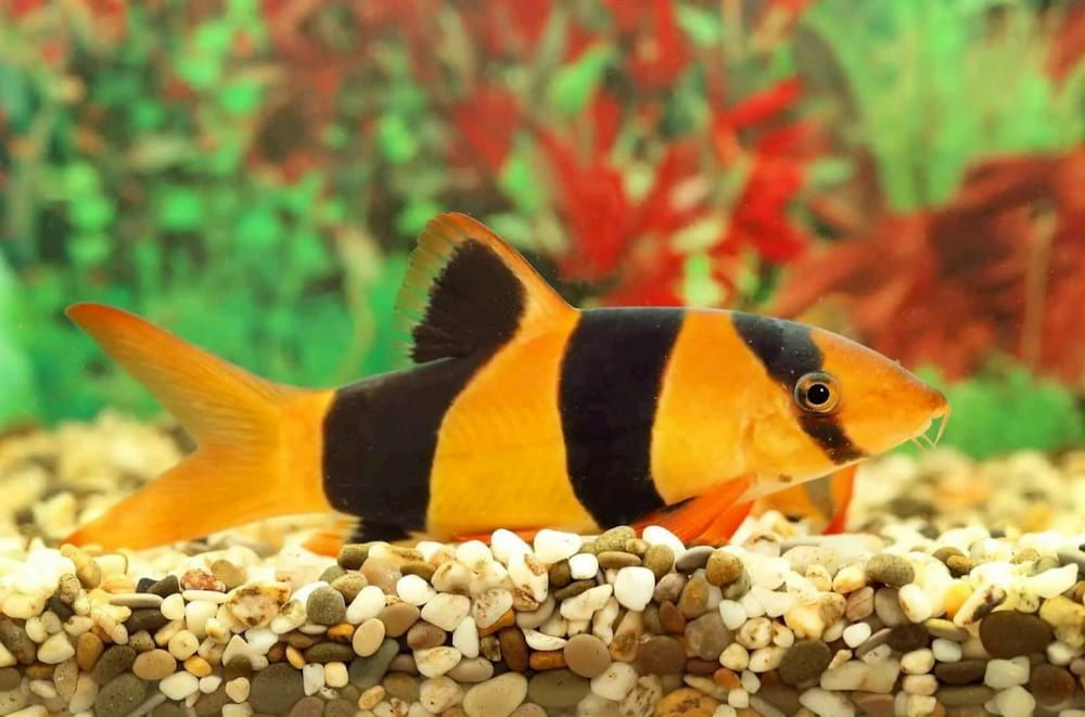 loach for community tropical fish aquarium