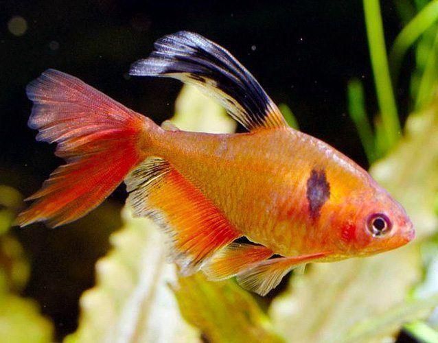 minor fish