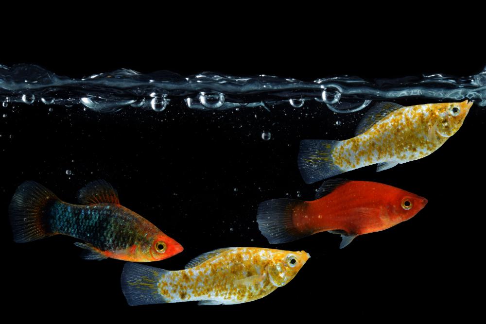 mollies fish most popular fish for seawater aquarium