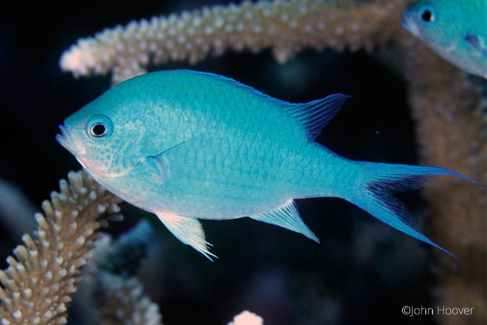 most popular fish for marine aquarium green chromis
