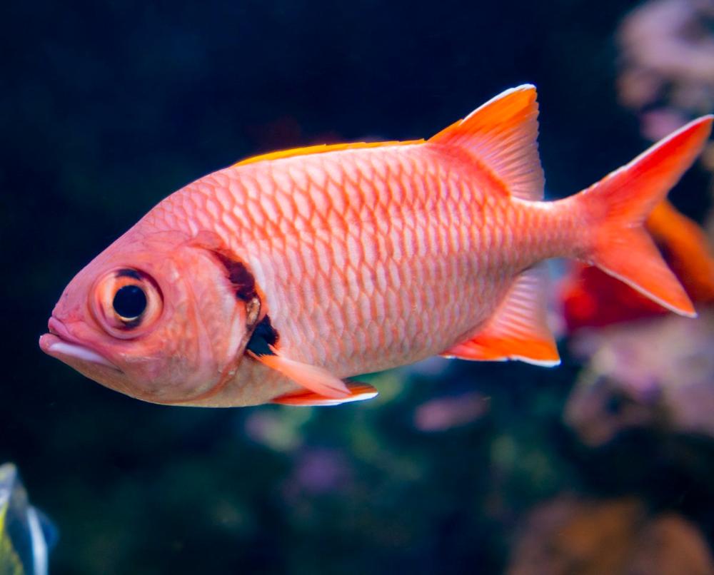 most popular fish for saltwater aquarium big eye black bar soldierfish