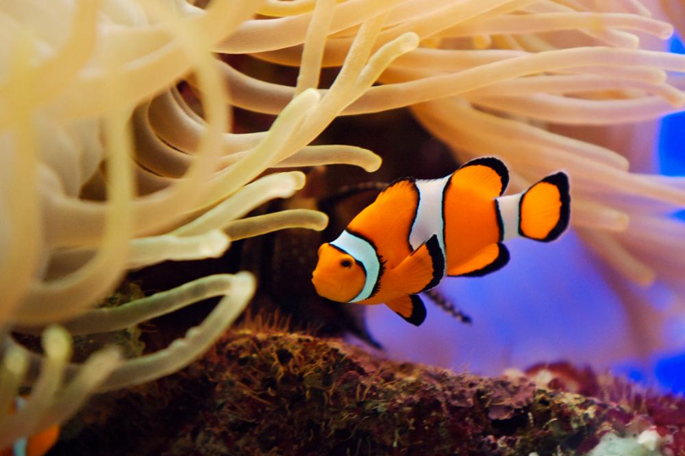 most popular fish for the marine aquarium