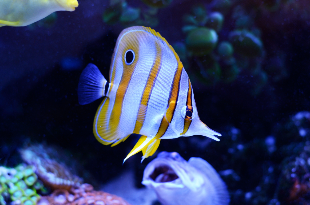 most popular saltwater aquarium fish butterflyfish