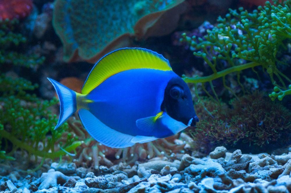 most popular saltwater aquarium fish- tang