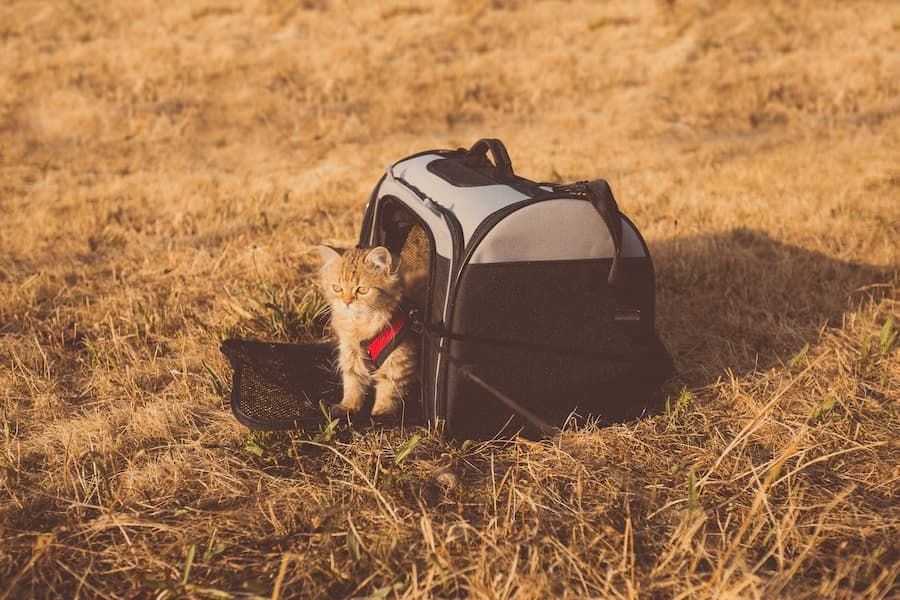 motion sickness in cats