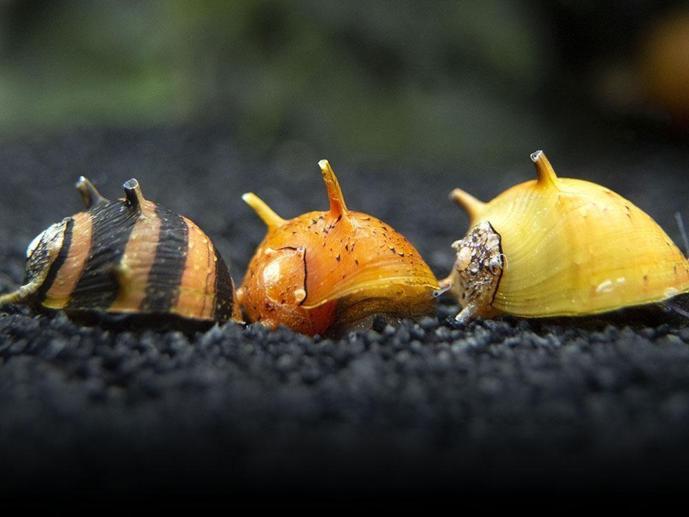 nerite snails for freshwater aquarium