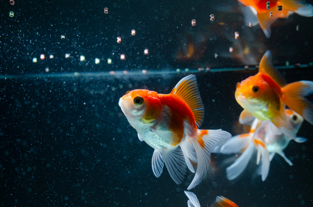 nitrates in a fish tanks