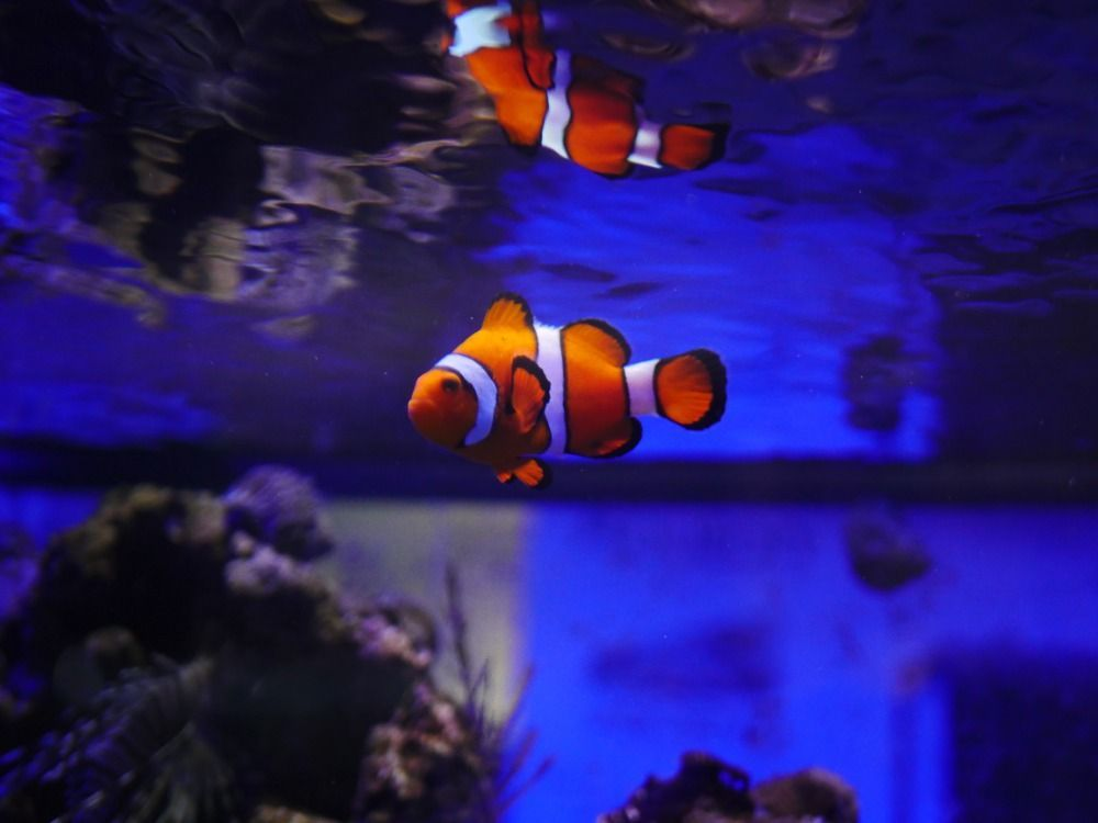 clown fish saltwater fish for beginner