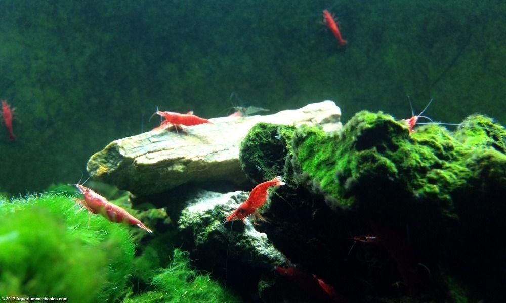 cherry-shrimp-aquarium