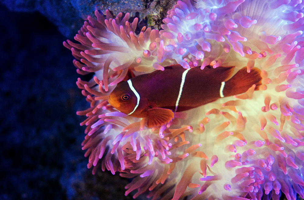 sea anemone in your fish tank