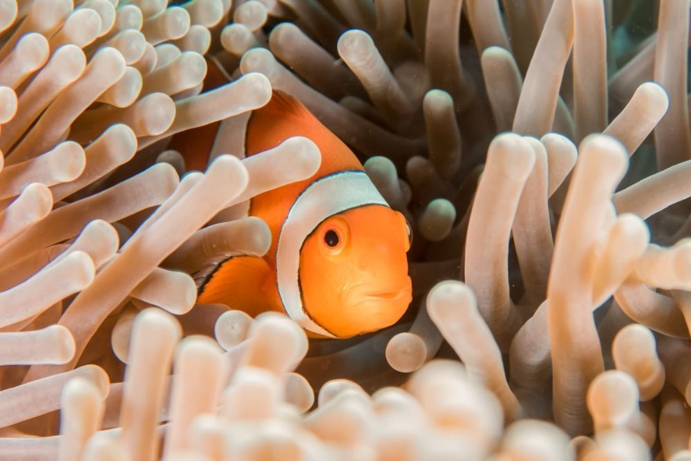 clown fish saltwater fish for beginners