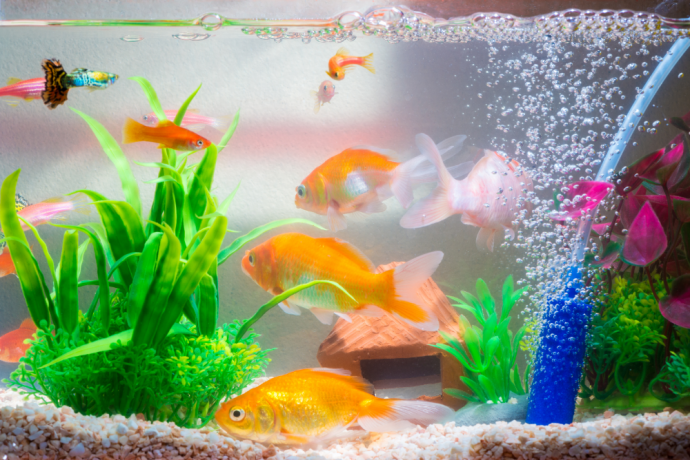 How to Set Up a Freshwater Fish Tank