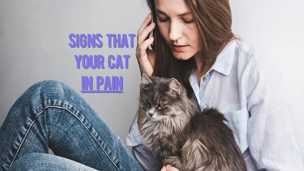signs my cat in pain