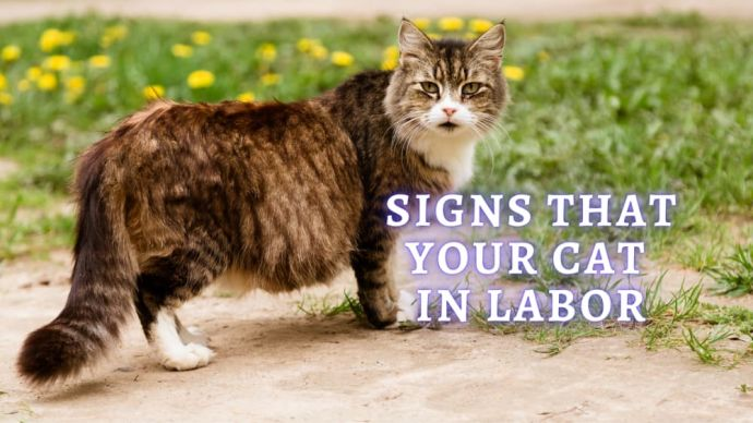 signs that your cat in labor