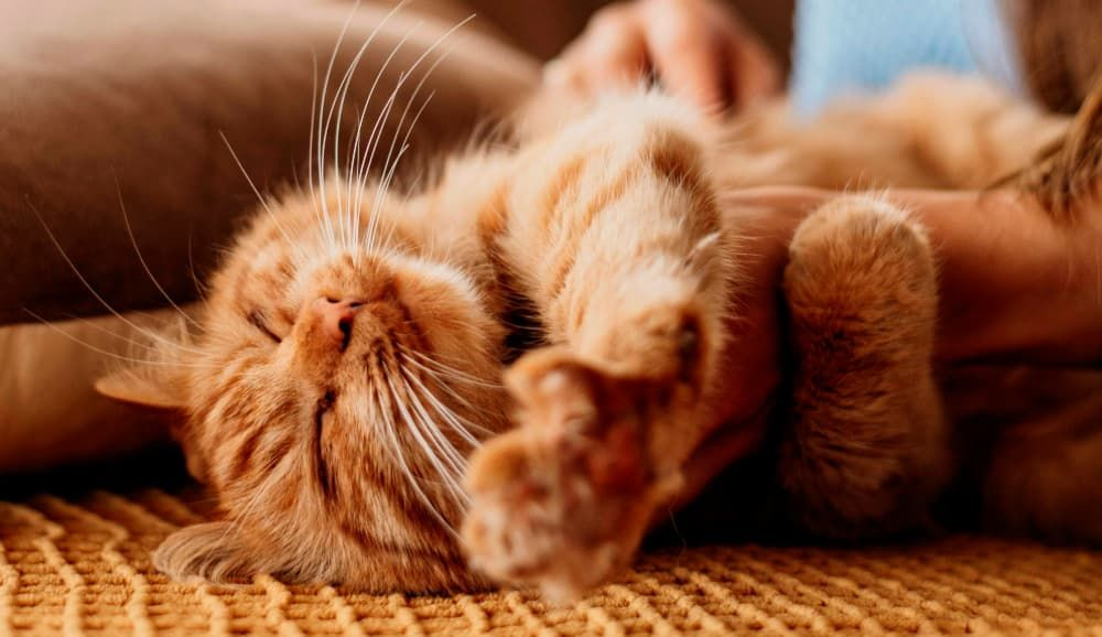 signs your cat may have a sensitive stomach