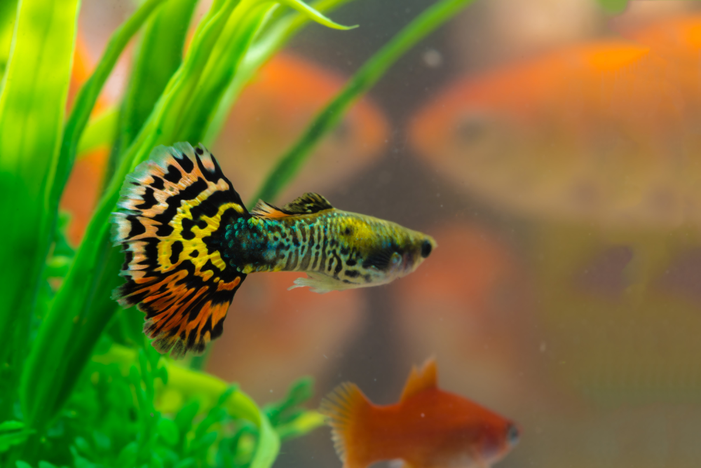 starter fish for aquarium