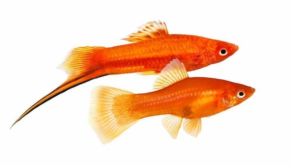 swordtail fish easy breeding