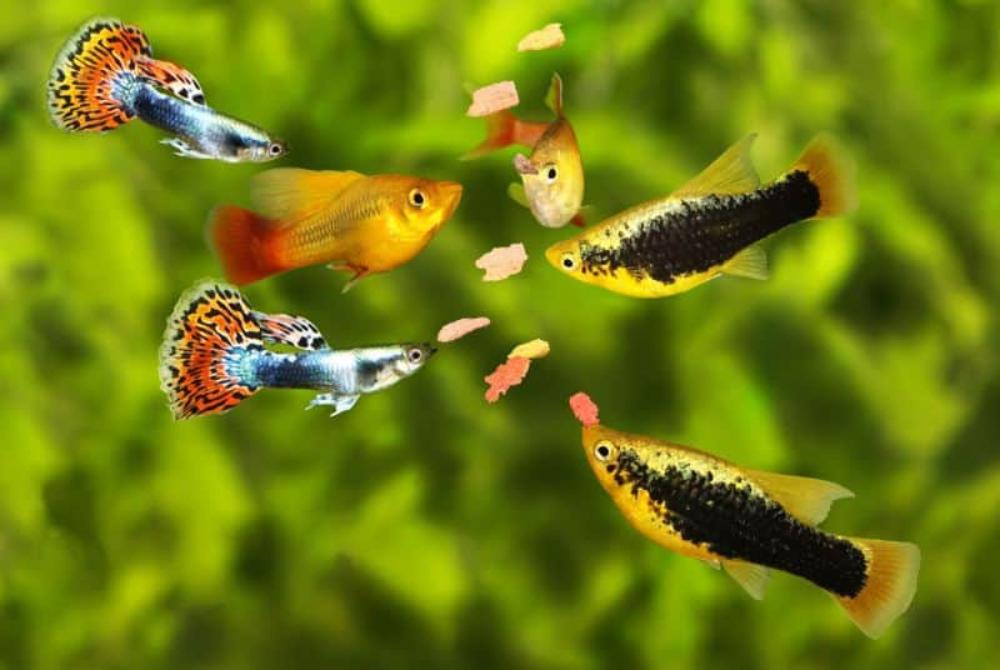 swordtails mollies and platies for freshwater aquarium combination