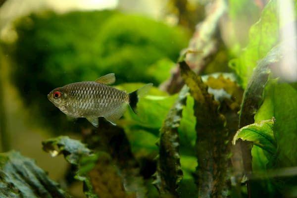 tetras fish