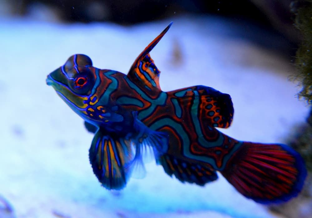 things to know about mandarin fish