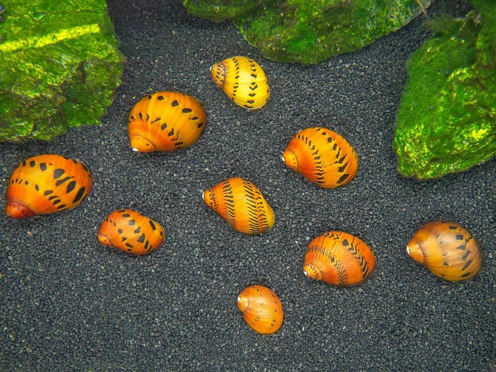 tiger nerite snails