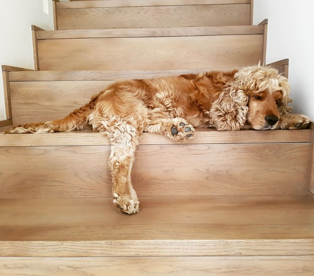 what food is best for cocker spaniel