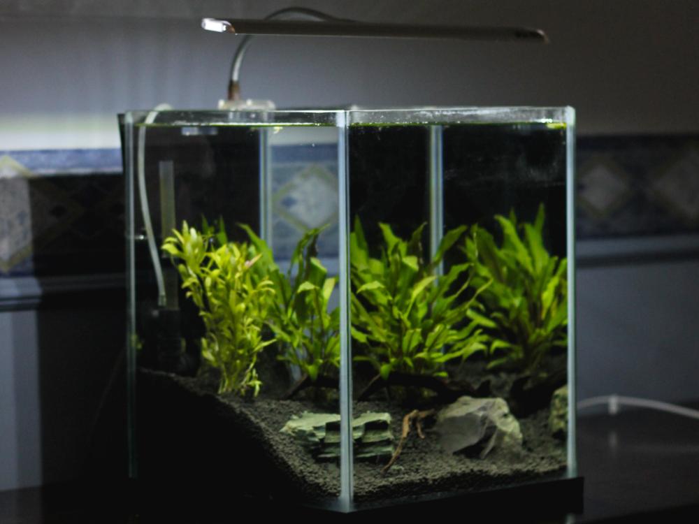 what freshwater fish eat algae