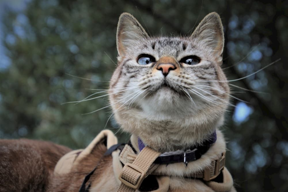 what is the best harness for a cat