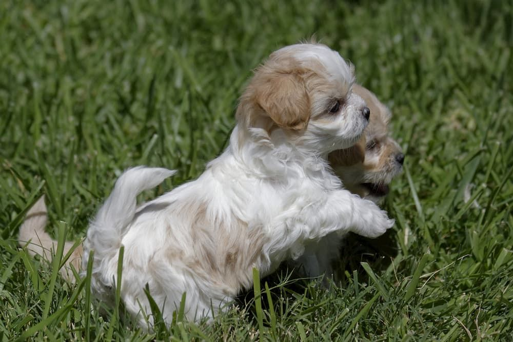 what is the perfect age to get a puppy
