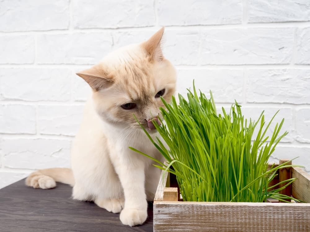 what risks of vegan diet for cats