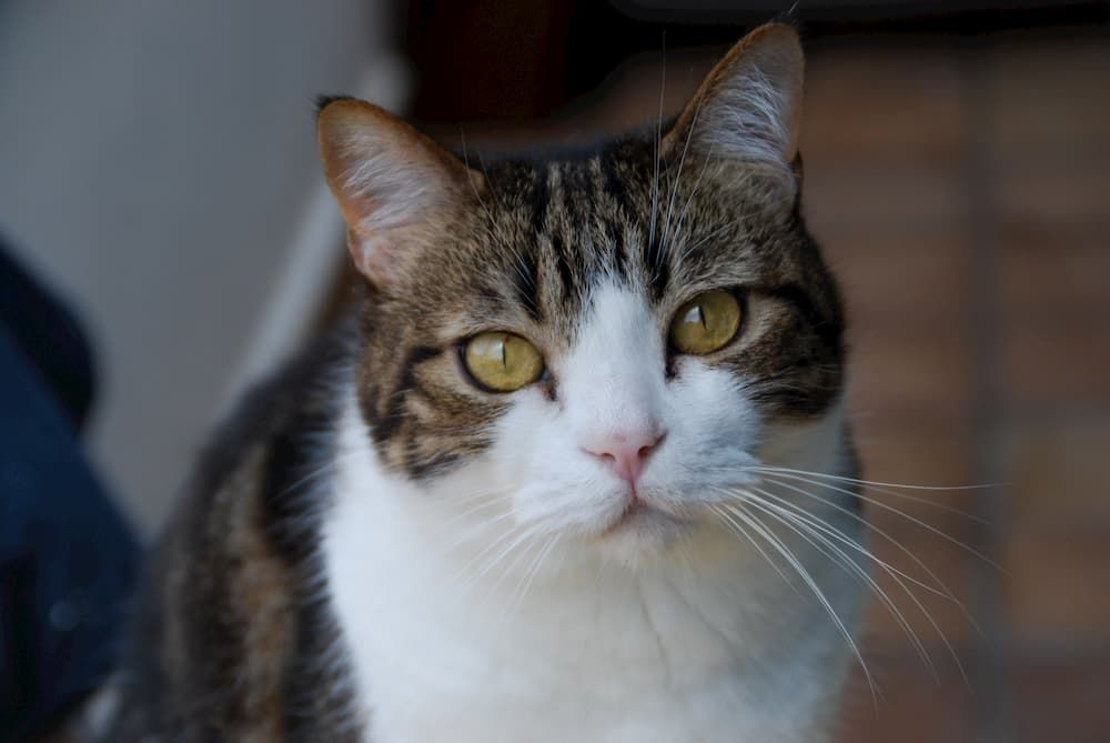what should i do if my cat in pain